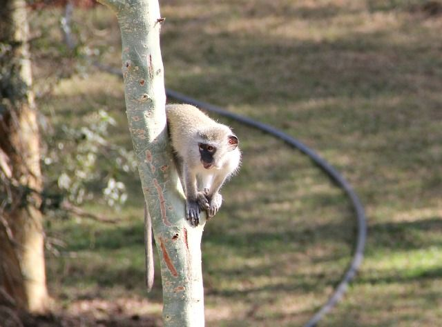 A vervet monkey at Ubizane playing in a Fever Tree