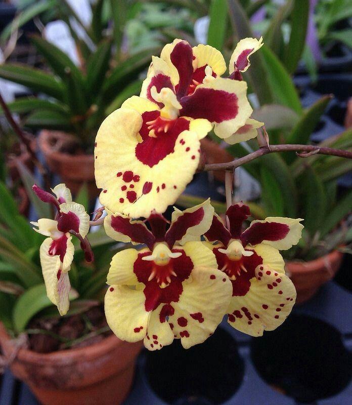 Orchidées ***