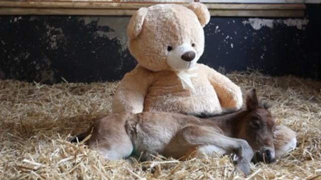 La Stampa - Breeze, il cavallo orfano che dorme con un peluche