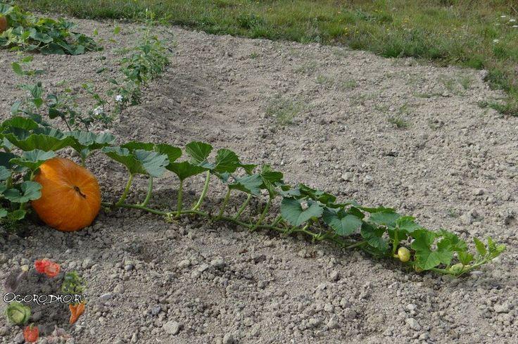 Чтобы знать, как прищипывать тыкву в открытом грунте, нужно запомнить несколько простых правил, тогда урожай порадует и раньше вырастет...