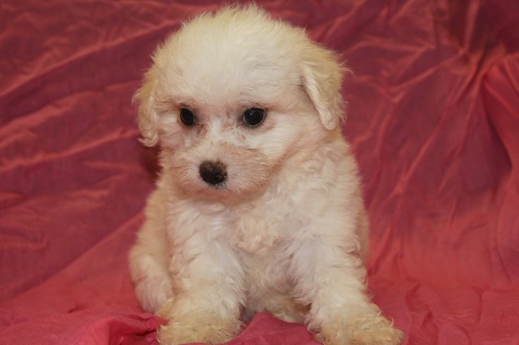 This female is as nice as they come, her profile is at http://www.network34.com/dogsbreed/bichon-frise-puppies-for-sale-pa-md-ny-nj-dc/