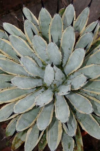 Agave macroacantha 'Blue Ribbon' (Blue Ribbon Century Plant)