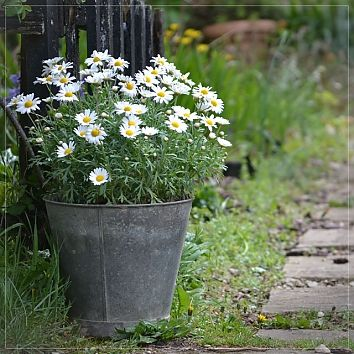 zinc bucket planter....LOVE THIS!! I have an old bucket I am going to use!