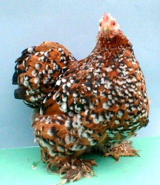 ~ Mille Fleur Pekin Chicken ,great breed for small gardens