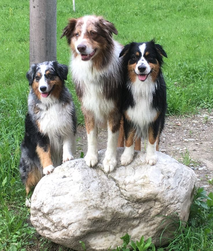 180 best images about aussieborder collies on pinterest