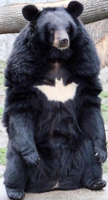 BATMAN-BEAR!