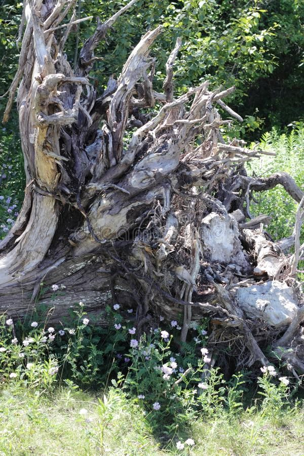 Download Extensive tree root system stock photo. Image of trees - 108682328