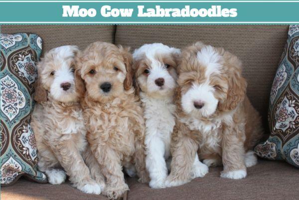 Cute Australian Labradoodle Puppies!