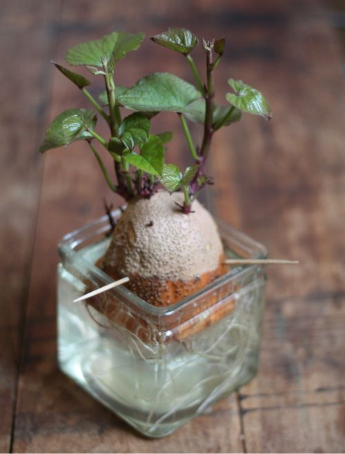 How to sprout sweet potato vines - just twist off the shoots and plant in soil. New Plants Unit Make sure to use and organic potato!! If you buy the usual sweet potatoes in a bag from the supermarket this will NOT work