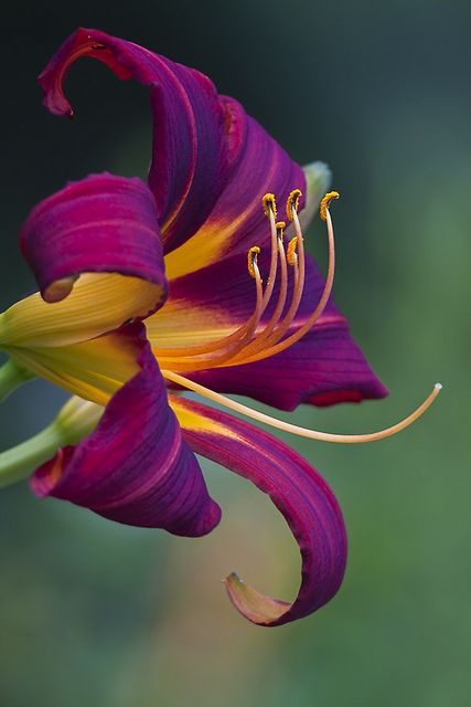stunning bright purple and yellow Lily  -  I love Daylillies.  They never let you down.