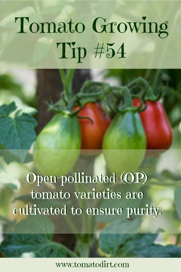 Tomato Growing Tip #54: Open Pollinated (OP) tomatoes with Tomato Dirt