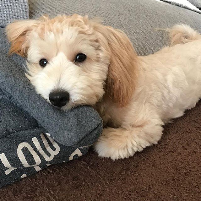 * 超〜暇なんですけど…🐶 * #6ヶ月#ミックス犬#マルプー#むっち#家族#マルチーズ#プードル#男の子#愛犬#犬のいる生活#親ばか#インテリア#緑のある暮らし#ナチュラル#6months#mucchi#Maltipoo#maltipoopuppy#interior#garden#dog#doglover#lovedogs#male#cute#instagood#love