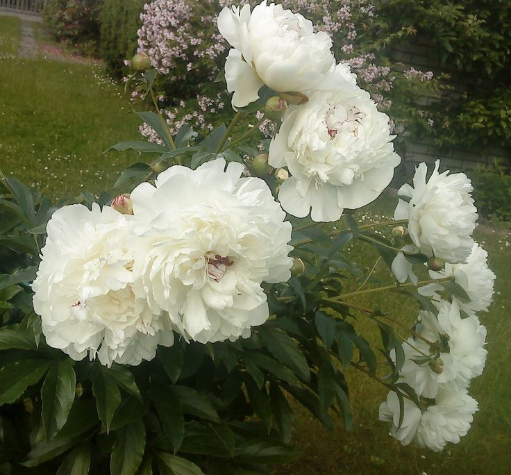 white peonies in august