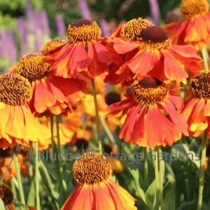 (P35) Helenium 'Sahin's Early Flowerer' 120 cm
