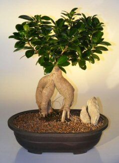 17 best images about bonsai trees bonsai sculptures zen gardens on pinterest gardens trees. Black Bedroom Furniture Sets. Home Design Ideas