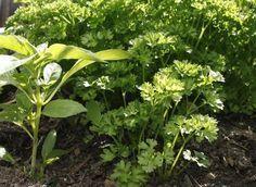 Comment avoir du beau persil ( conseil de plantation, semis, entretien) Voir le site pour + d'infos