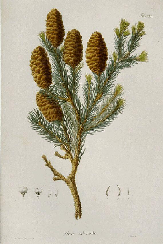 SALE Vintage Botanical Print by Prestele of Spruce
