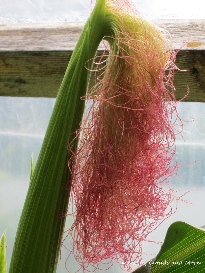Corn in my greenhouse.