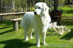Foto de un macho de la raza Perro de Montaña de los Pirineos (Gigante de los Pirineos) disfrutando de un paseo por el parque. Raza de perros (Photo of a Pyrenean Mountain Dog enjoying a walk in the park. Breed of dogs).