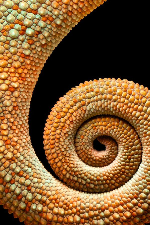 Spiral, the tale of a chameleon! I suppose... :)
