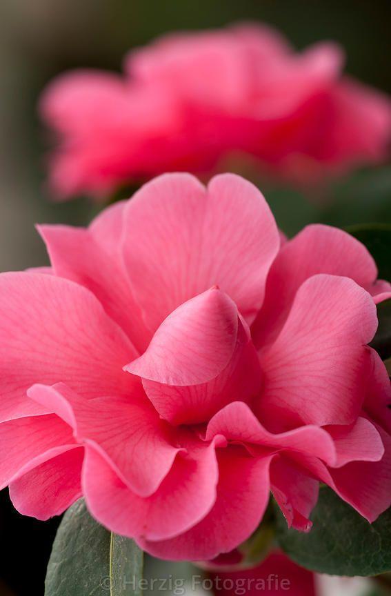 """Camellia """"Adorable"""" - Significado das flores - Camélia: A camélia branca…"""