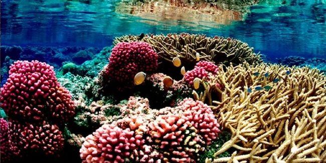 Indonesia merupakan negara maritim, maka Indonesia dikelilingi terumbu karang indah. Ada sekitar 18% terumbu karang dari total terumbu karang di seluruh dunia yang ditemukan di Indonesia. #PINdonesia #OndeMonday