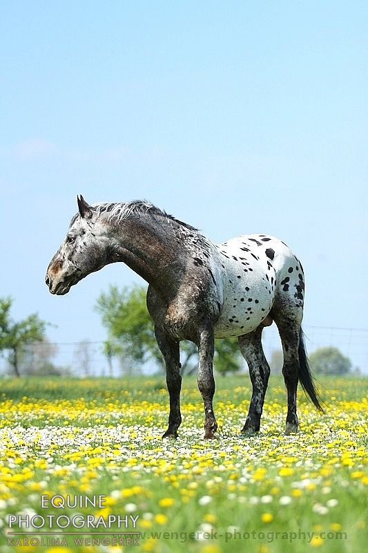 Wielkopolski stallion Debiut. Ok I am leaving the description as is. But researching the breed on Wikipedia it says the breed is a solid colored horse. All the pics I've seen of this fellow are too far away to see if it is true appaloosa in him or just maybe a Norkier or Knappstrupper that flow in him. I am curious.