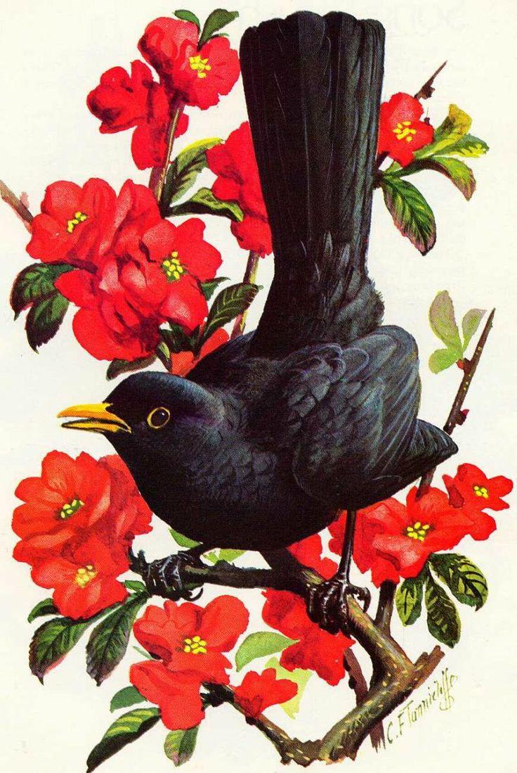 Blackbird ~ Charles F Tunnicliffe