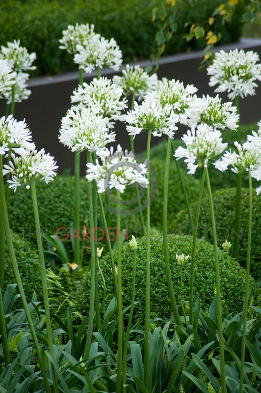 White agapanthus & box topiary.