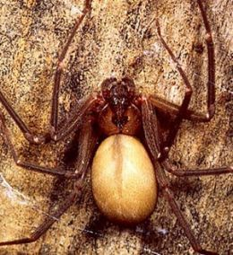 Brown Recluse Spider. This would be a really big Brown Recluse Spider. Most of them are the size of a quarter or smaller. If Brown Recluse Spiders are about be sure to shake out shoes and clothing before you put it on.