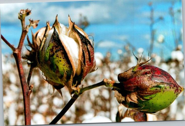 Cotton buds about to burst. Picking of the cotton follows.