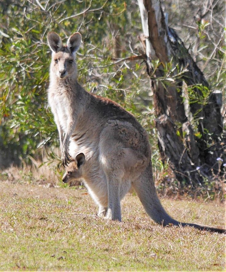Eastern Grey Kangaroo with joey in pouch west of Brisbane