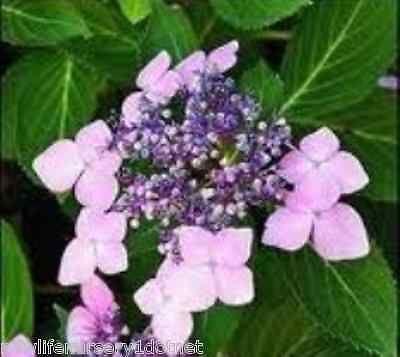Lavender Lacecap Hydrangea - Live Plant - 3 Inch Pot