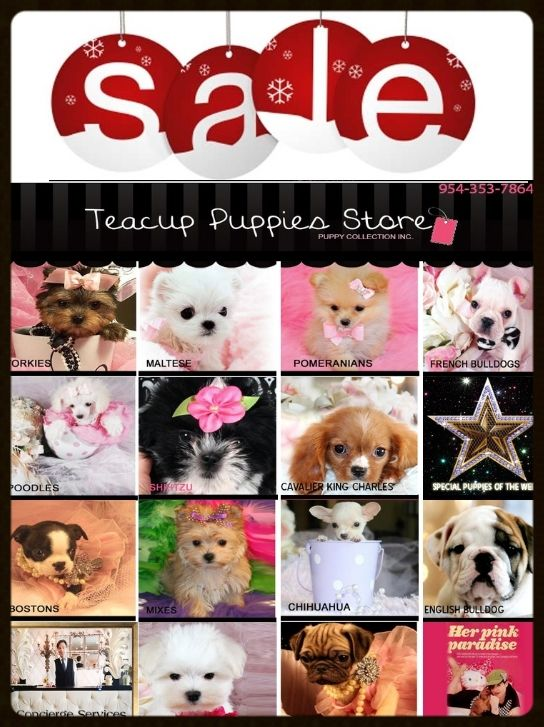 ★HUGE★HOLIDAY★SALE★ Regular priced puppies originally $1350.00 to $2550.00 are now $399 to $950.00!!! ►954-353-7864► www.TeacupPuppiesStore.com #yorkie #maltese #pomeranian #chihuahua #poodle #frenchbulldog #englishbulldog #morkie #maltipoo #cavalier #minpin #shihtzu #bostonterrier #pug #puppy #dog #teacup #teacuppuppiesstore #teacuppuppies #micro #toy #pocketbook #cute #adorable #fluffy #love #florida #newyork #california #puppies #puppiesforsale #christmas #thanksgiving #holiday #sale