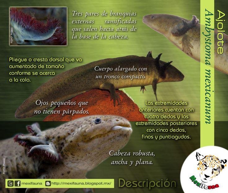 Ajolote (Ambystoma mexicanum): DESCRIPCIÓN MAYOR INFORMACIÓN: http://mexifauna.blogspot.mx/2014/08/ajolote-ambystoma-mexicanum.html