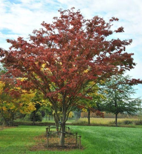 Zelkova serrata #tree #autumn #colours www.vdberk.co.uk