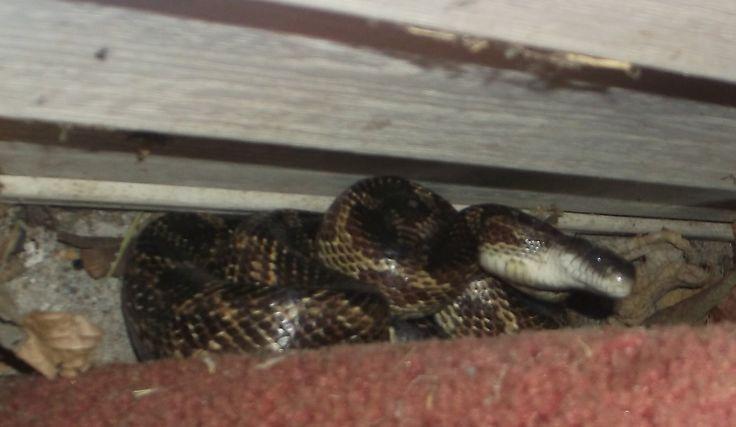 What Kind Of Snake Is it? Taste Like Chicken? LOL 2 fools & a snake