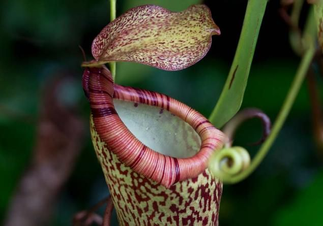 Highland Tropical Pitcher Plant Growing In The Rainforest