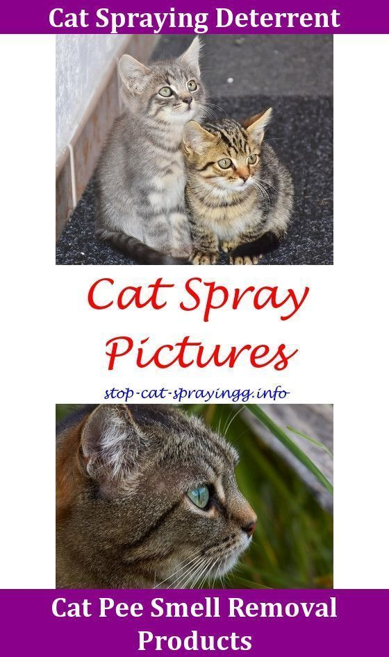 Cat Spraying Kitty Cat Urine Out Of Carpet Life Hacks My Cat Keeps Peeing On Everything Train Cat To Use Litter Box Cat Advice,cat peeing outside litter ...