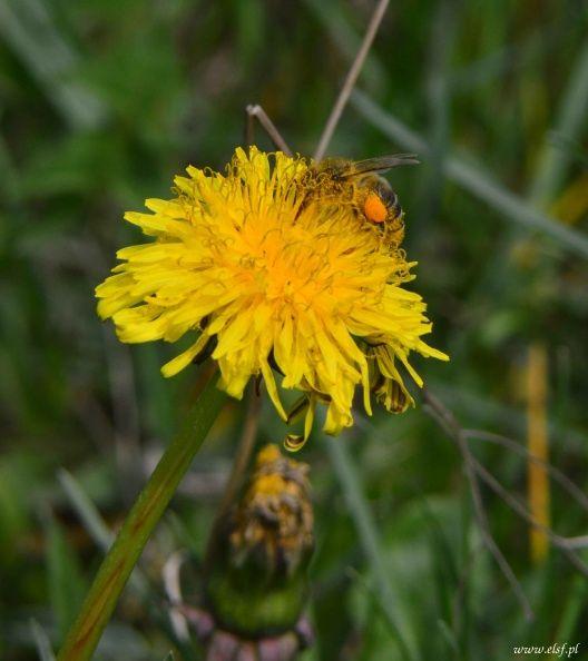 Mniszek i pszczoła...