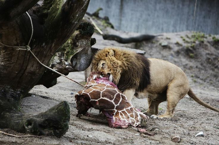 Copenhagen Zoo Kills 4 Lions After Controversial Giraffe Death