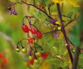 Bittersüßer Nachtschatten - Bio Pflanzen