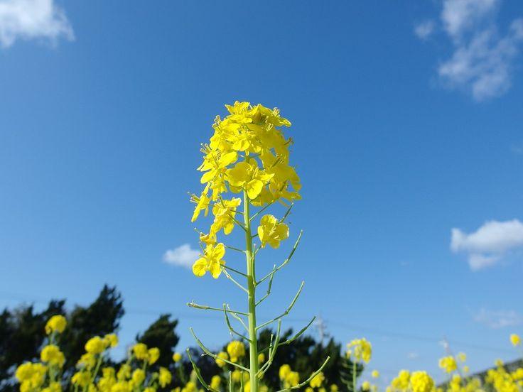 田原の菜の花