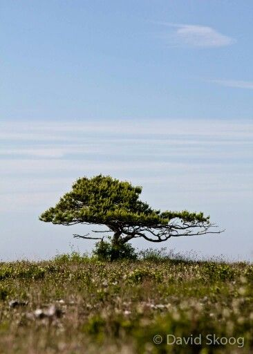 Gotlandic savanna