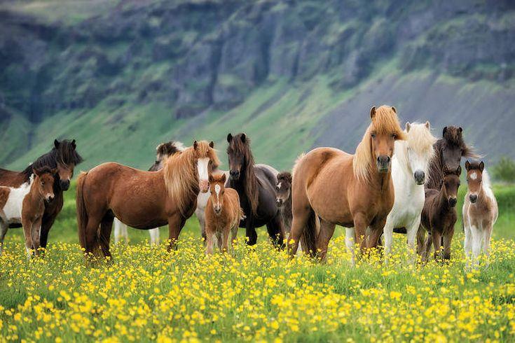 Icelandic Horses VII Art Print by PH Burchett