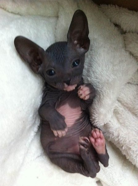 Yes, I really really really want a Sphynx kitten