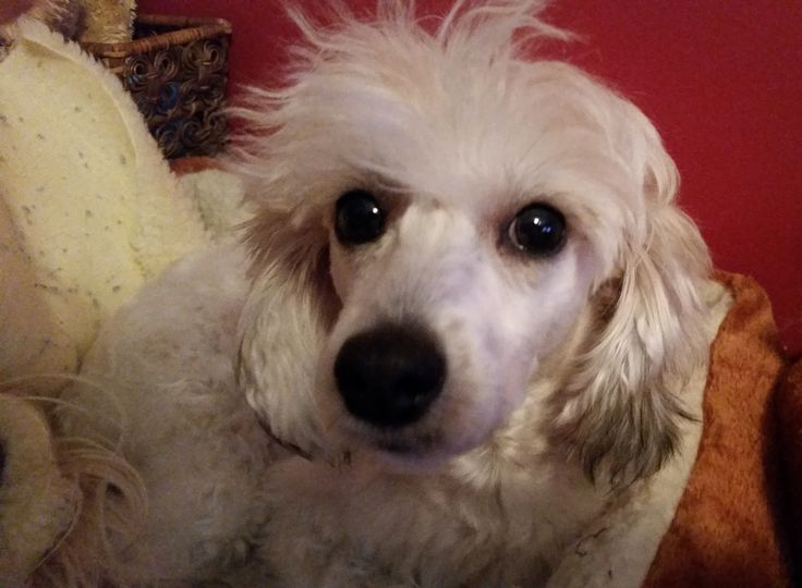 Buttons - Poodle Chinese Crested Mix - WOW what high energy!