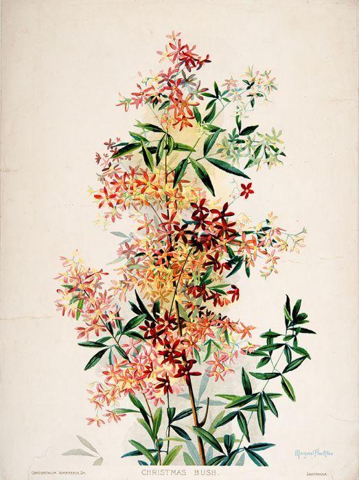 Ceratopetalum gummiferum (Christmas Bush)
