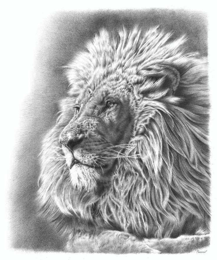 From fine art america · a photorealistic pencil drawing of a lion