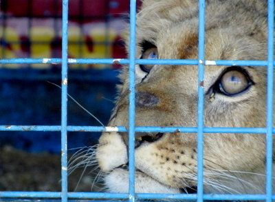 For the town of Buchelay ceases  circuses with animals